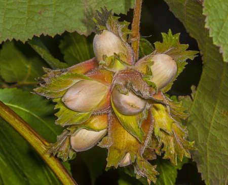The fruit nut autumn bush