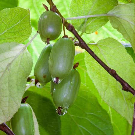 Grapes Actinidia kiwi autumn in the garden