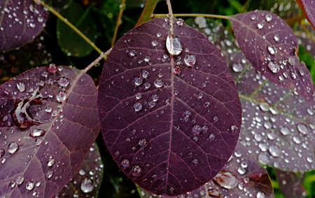 Water drops on red leaves after a rain