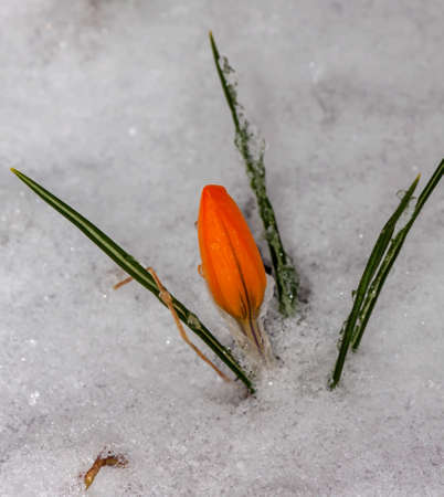 Crocuses snowdrops in the garden after a snowfall