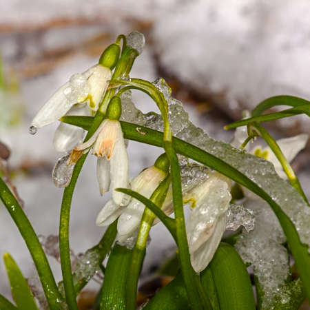 The first snowdrops in the garden after a snowfall