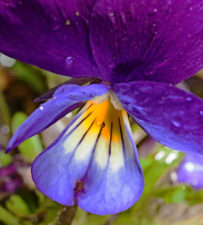 Viola flowers in the garden Stock Photo