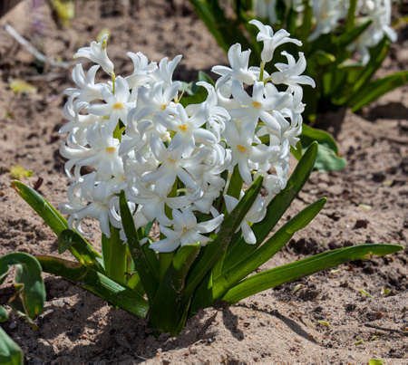 Hyacinth white in early spring