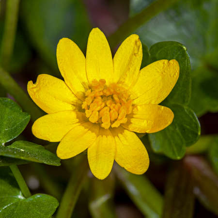 A small Marsh marigold yellow flower in the early spring in the garden Stock Photo