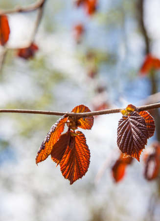 Red leaves of hazelnut in spring against the sky