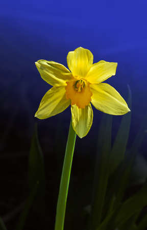 Yellow Narcissus flower in the garden in springtime Stock Photo