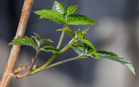 Young leaves on the branches of currant in Garten at spring Stock Photo