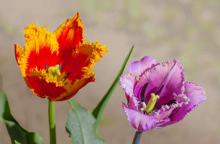Flower tulip terry in the spring blossoming at the beginning of the day