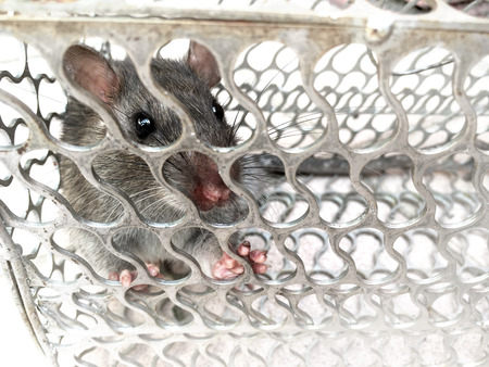 trapped: Mouse trapped in a metal cage Stock Photo