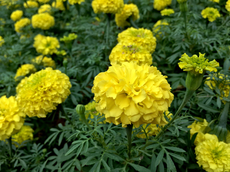 Close up of yellow marigold flowers in the park