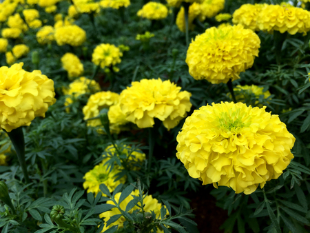 Close up of yellow marigold flowers Stock Photo