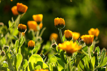 garden marigold: marigold flowers in garden Stock Photo
