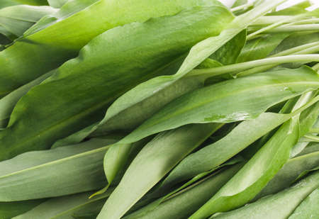 culinary arts: Bunch of Fresh Green Rams Onion or Ramsoms A big ingredient in the New Nordic Culinary Arts and cuisine Stock Photo