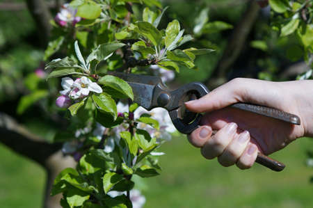 bush trimming: Pruning of Apple Tree when blossoms in Garden