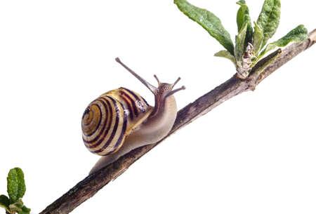 Garden Snail on Branc isolated on white Imagens