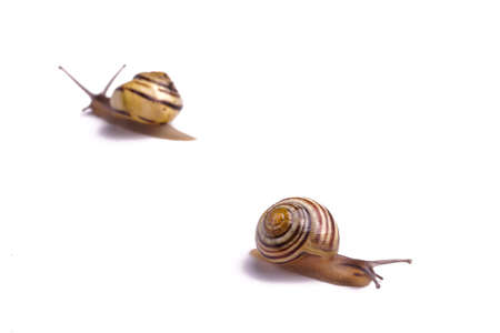 yuck: Brown Garden Snail. isolated on white with copy space
