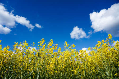 rapaseed: Canola field with canola oilseed and yellow rape flowers. Blue cloudy sky. Spring time Stock Photo
