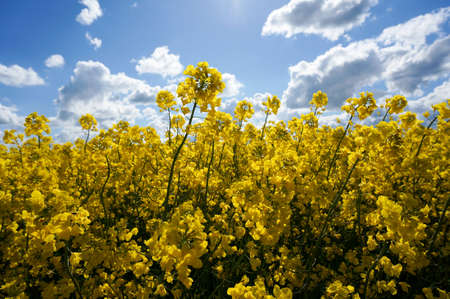rappi: Canola field with canola oilseed and yellow rape flowers. Blue cloudy sky. Spring time Stock Photo