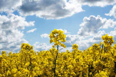 oilseed: Canola field with canola oilseed and yellow rape flowers. Blue cloudy sky. Spring time Stock Photo