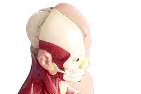 vital: Human anatomy model used for teaching students and patients about the bodys vital organs of teachers and doctors