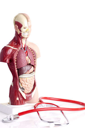 vital: Human anatomy model and stethoscope used for teaching students and patients about the bodys vital organs of teachers and doctors. medical equipment