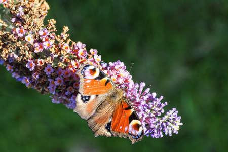 plexippus: Painted Lady Butterfly sitting in butterfly bush