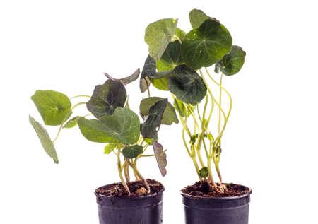 edible leaves: edible Tropaeolum majus leaves, nasturtium leaf, used for garnish on food,  isolated on white