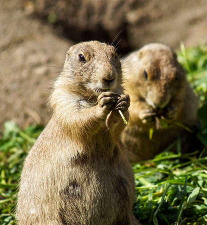 rechtop: Prairie dog eating green grass standing upright