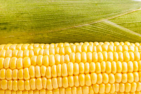 corncob: Fresh healthy organic Corncob ready for eating and cooking