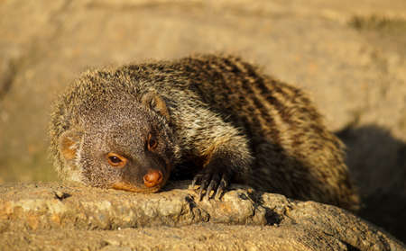 hot stones: Banned Mongoose in the sun, lying on the hot stones