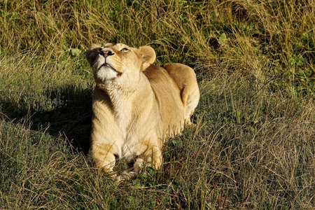 growling: Lioness growling in the morning sun, lying in the grass