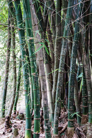 Forrest af Bamboo stems with engraved graffiti words Stock Photo