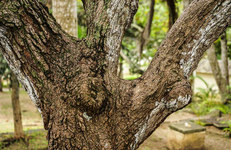 branching: closeup of a tree that has divided itself as a trident