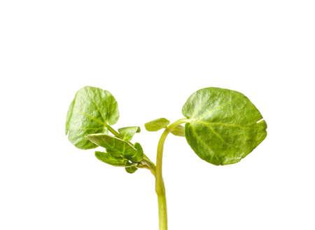 watercress: freshly picked organic watercress, isolated on white