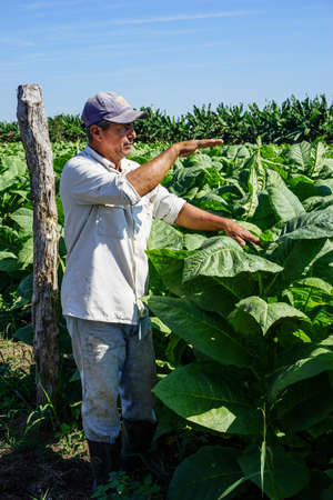 grower: Santiago de Cuba, Cuba - January 12, 2016: typical scene in the Cuban countryside. Cuban tobacco grower explains how he grows and harvest his tobacco fields