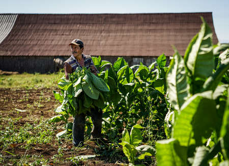 laborers: Santiago de Cuba, Cuba - January 12, 2016: typical scene in the Cuban countryside. laborers harvesting and carries the tobacco leaves into the drying