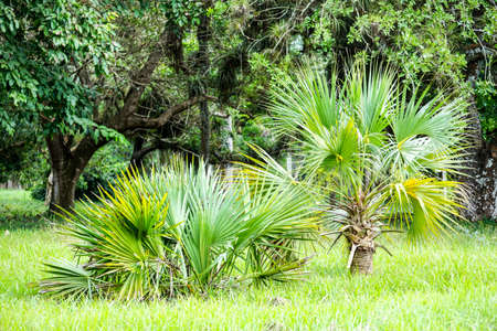 subtropics: Chusan or Windmill palm growing i tropical forest