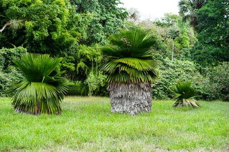 petticoat: great Petticoat Palms growing in tropical Cuba