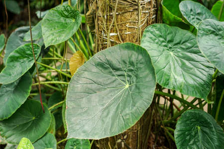 tropical evergreen forest: Elefant ear plant, Araceae Tropical, with great green leafs Stock Photo