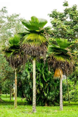 petticoat: three great Petticoat Palms growing in tropical Cuba
