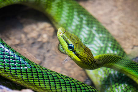 yellow tailed: Red tailed Green Rat snake, with the body curled up