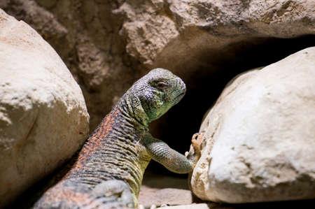 spiny: Omani spiny tailed Lizard lying on rocks