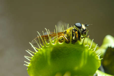 Fly is eaten by carnivorous green plant Фото со стока
