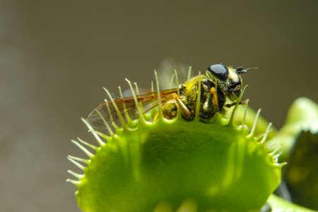 Fly is eaten by carnivorous green plant Foto de archivo
