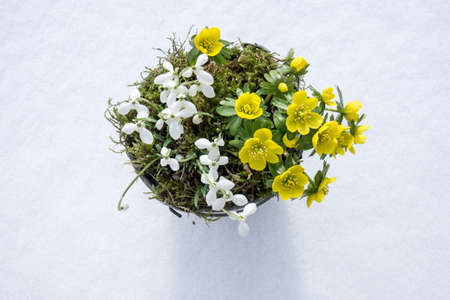 The first signs of spring. Winter aconite and snowdrops in a zinc pot stands in fresh snow