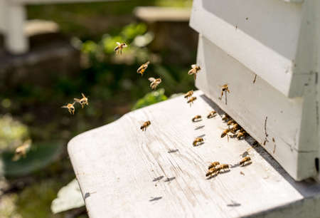 Close up of bees flying in and Out of their hives. Some of the bees carry golden pollen lumps on their legs Stock Photo