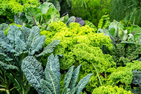 Vegetable garden with green cabbage plants growing