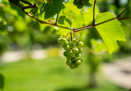 Green Organic Grapes hanging from the vine with the old tree trunks in the summer