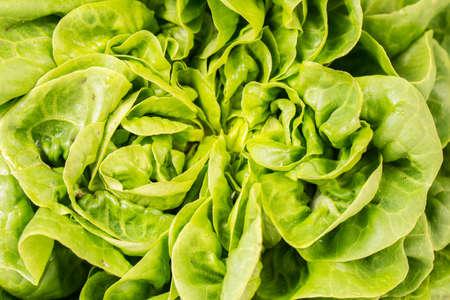 Organic fresh Salanoca Descartes lettuce. close up