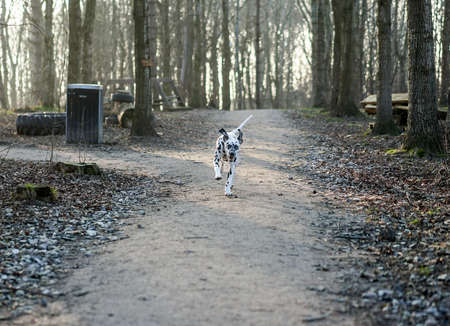 Young Dalmatian dog running happily around the forest